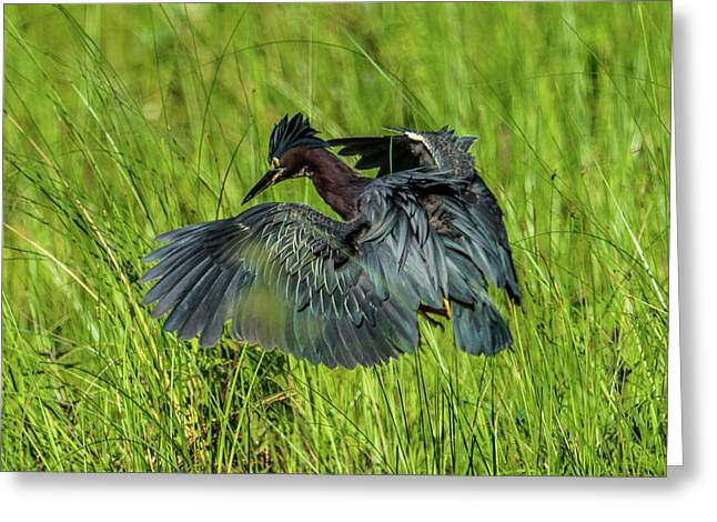 Green Heron Hunting Frogs Greeting Card