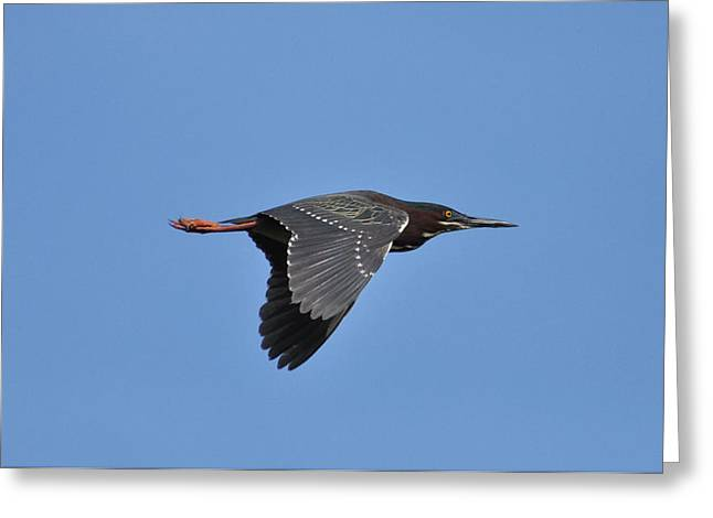 Green Heron In Flight Greeting Card by Gerald Hiam