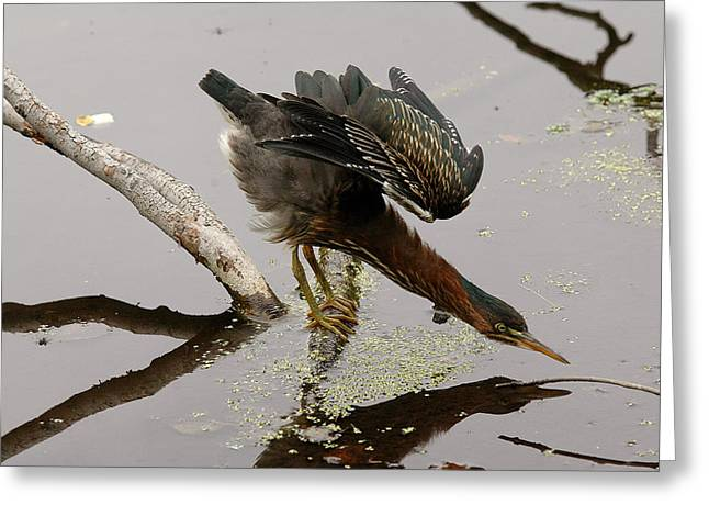 Green Heron Greeting Card