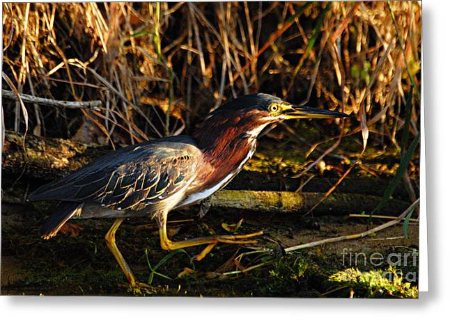 Greeting Card featuring the photograph Green Heron by Larry Ricker