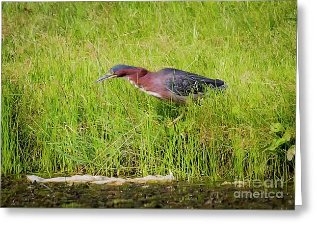 Green Heron On The Hunt Greeting Card by Ricky L Jones