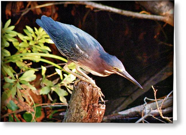 Green Heron Portrait Greeting Card by Rose  Hill