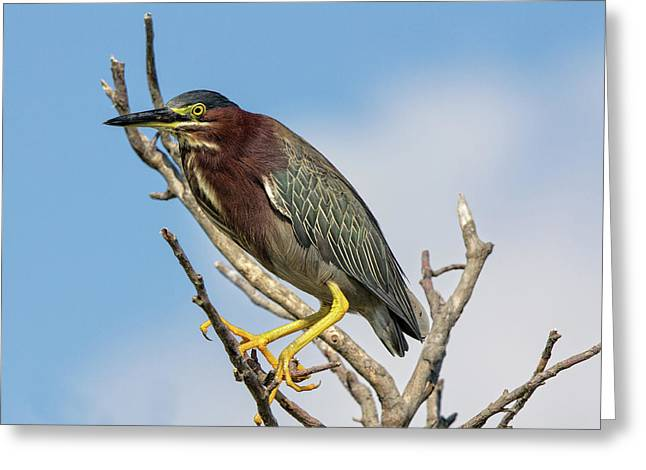 Greeting Card featuring the photograph Green Heron by Robert Pilkington