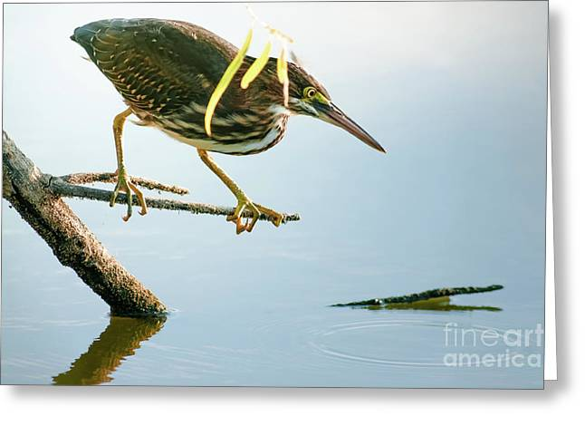 Greeting Card featuring the photograph Green Heron Sees Minnow by Robert Frederick