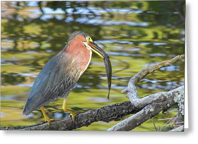 Green Heron With Fish Greeting Card
