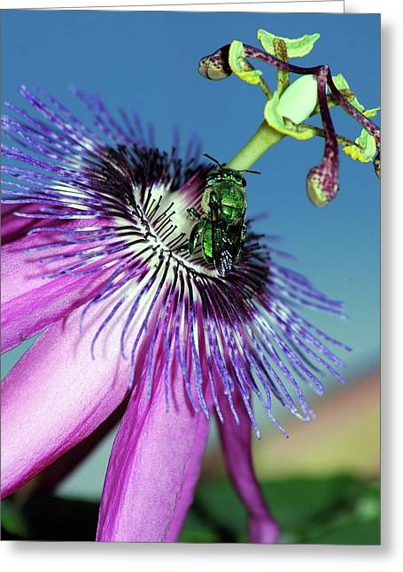Green Hover Fly On Passion Flower Greeting Card