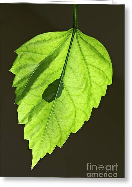 Green Hibiscus Leaf Greeting Card