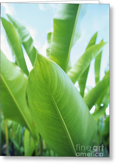 Green Leaves And Blue Sky Greeting Card