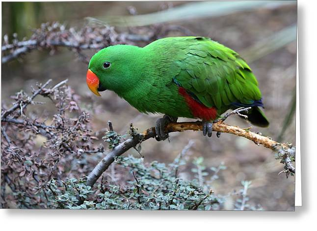Green Male Eclectus Parrot Greeting Card