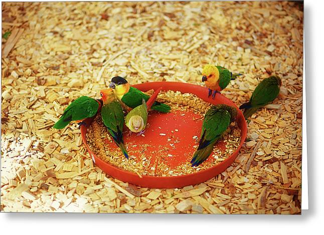 Green Parrot On Sawdust Eat Millet With Red Bowls Greeting Card