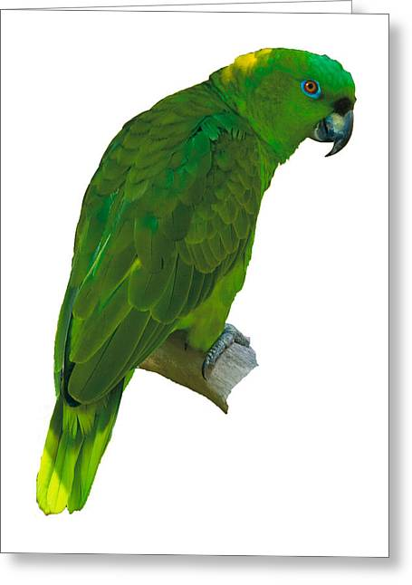 Green Parrot On White  Greeting Card