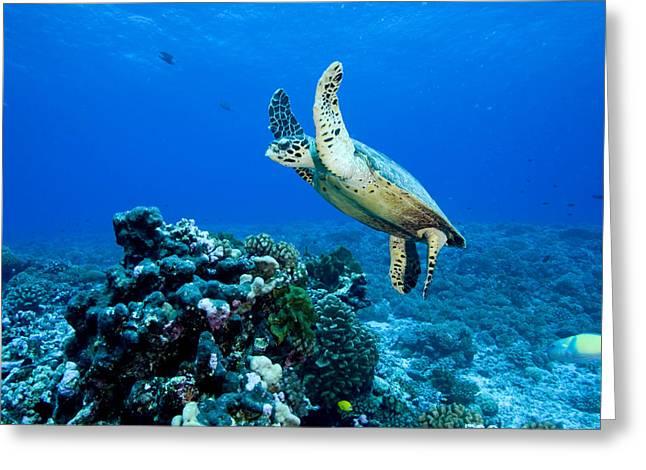 Green Sea Turtle Chelonia Mydas Greeting Card by Tim Laman