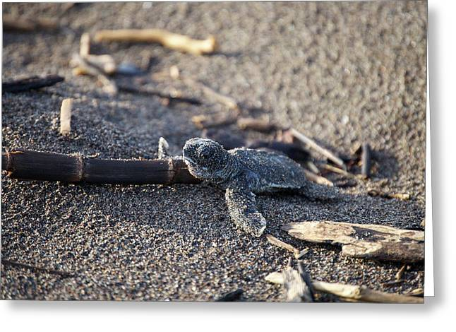 Greeting Card featuring the photograph Green Sea Turtle Hatchling by Breck Bartholomew
