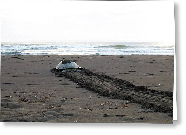 Greeting Card featuring the photograph Green Sea Turtle Returning To Sea by Breck Bartholomew