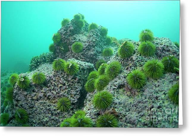 Green Sea Urchin Greeting Card by Sami Sarkis