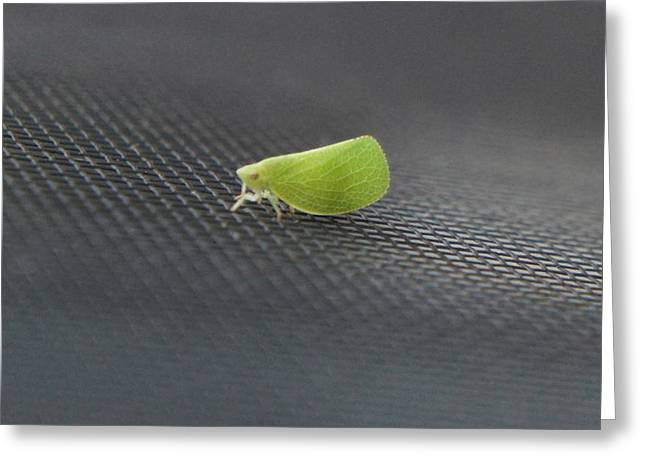 Green Silver-lines, Bena Prasinana, Moth Greeting Card
