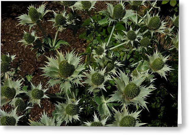 Green Thistles In Botanical Garden Of Bern Greeting Card