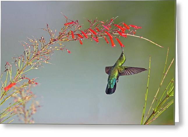 Green-throated Carib Greeting Card