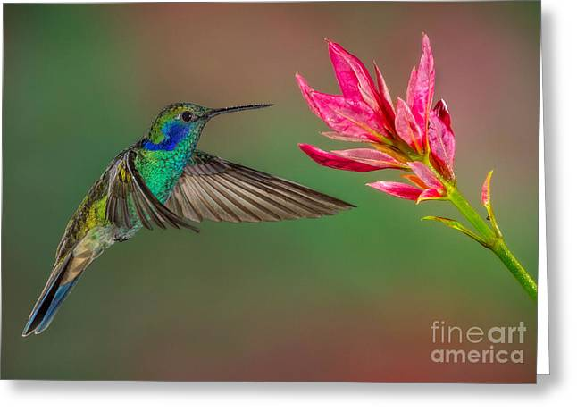 Green Violetear Hummingbird Greeting Card by Jerry Fornarotto