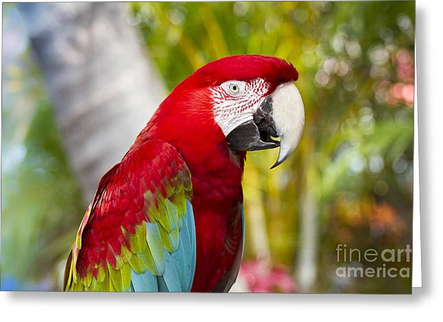 Green Winged Macaw Ara Chloropterus Greeting Card by Sharon Mau