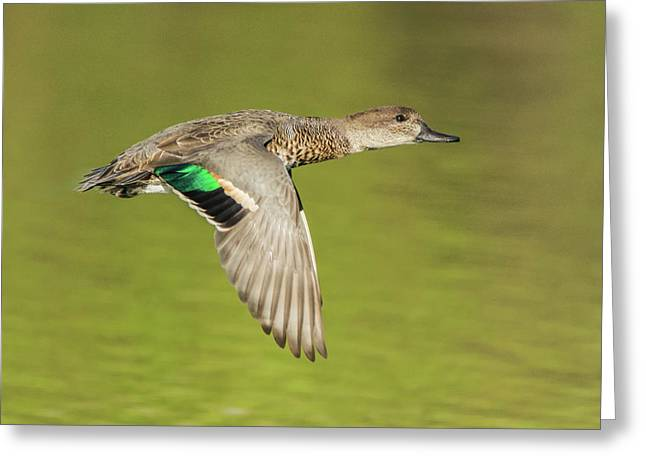 Green-winged Teal 6320-100217-2cr Greeting Card