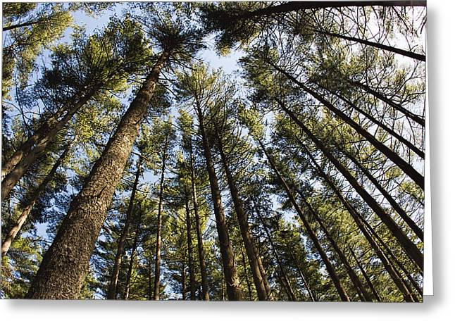Greenbank Pines Greeting Card