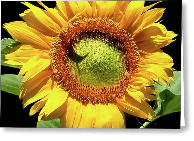 Greenburst Sunflower Greeting Card by Rona Black