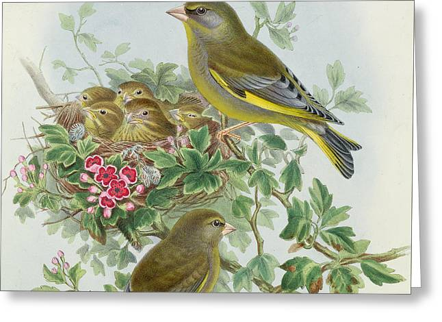Greenfinch Greeting Card by John Gould
