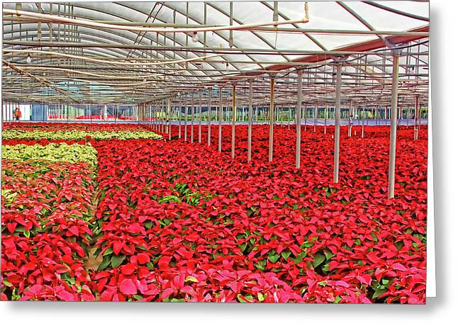 Greenhouse Poinsettias Greeting Card by HH Photography of Florida