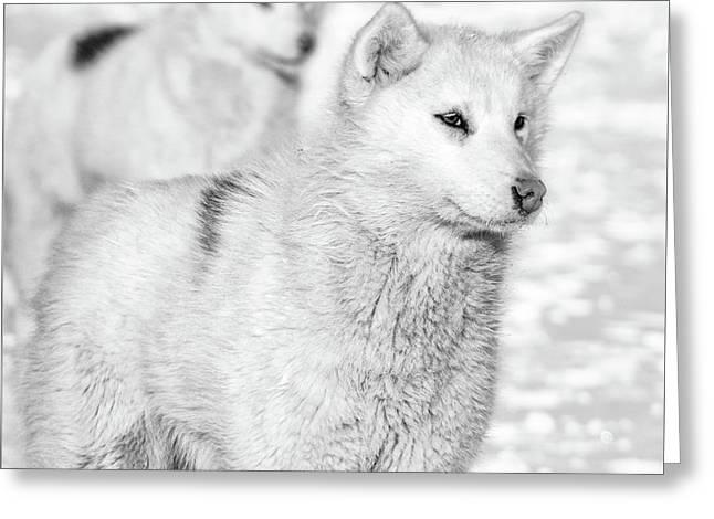 Greenlandic Dogs Greeting Card by Richard Burdon