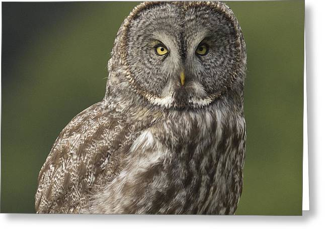 Great Gray Owl Portrait Greeting Card by Doug Herr