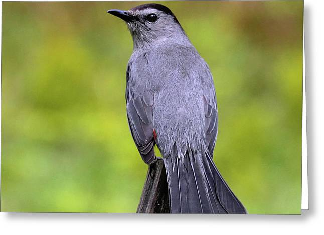 Greeting Card featuring the photograph Grey Catbird by Debbie Stahre