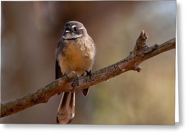 Grey Fantail Greeting Card by Heather Thorning