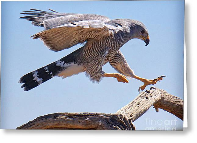 Grey Hawk Alights Greeting Card