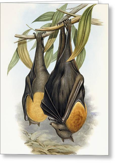 Grey Headed Flying Fox, Pteropus Poliocephalus Greeting Card by John Gould