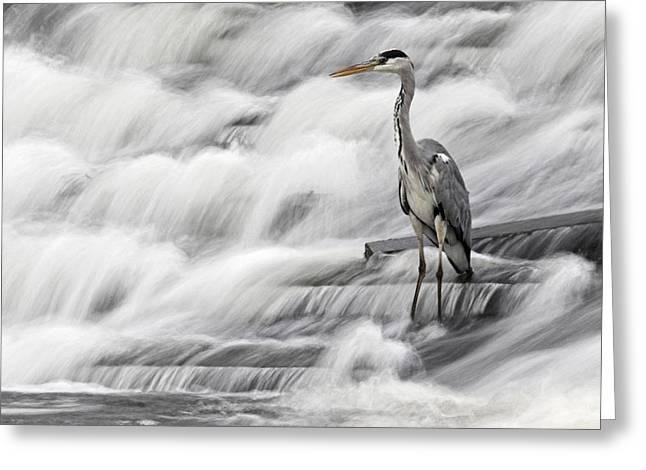 Grey Heron Fishing In Annacotty Waterfall Ireland  Greeting Card