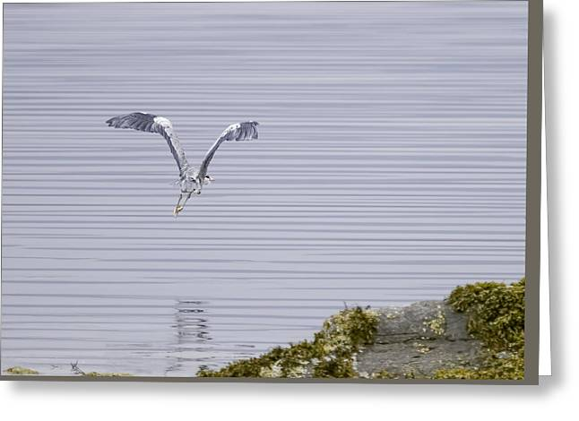 Grey Heron Flying Over A Loch On The Isle Of Mull Greeting Card by Mr Bennett Kent