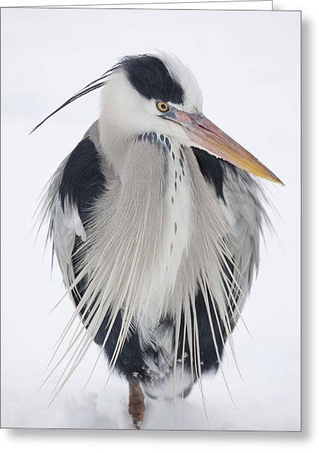 Grey Heron In The Snow Greeting Card