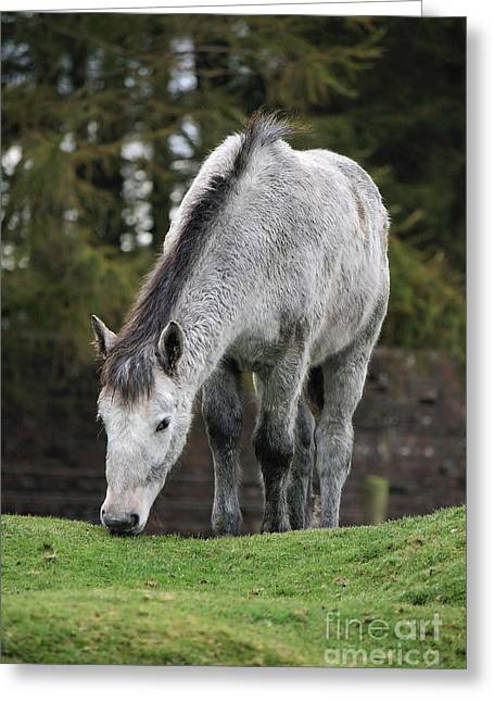 Grey Horse Greeting Card by Carl Whitfield