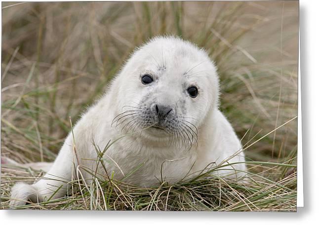 Grey Seal Pup Greeting Card