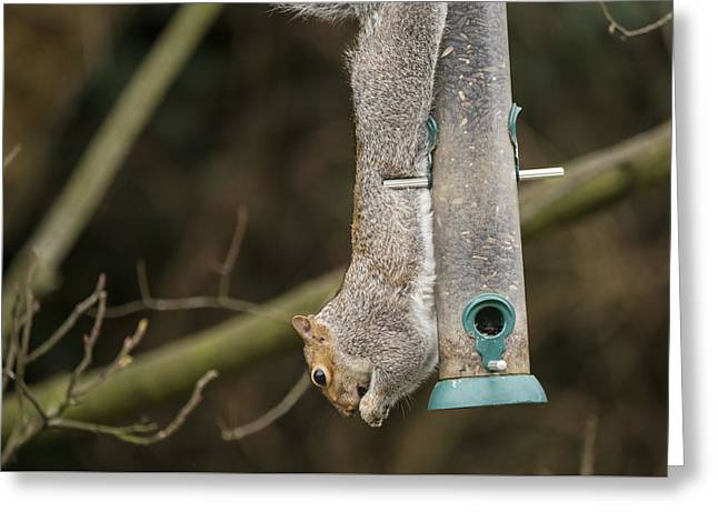 Grey Squirrel Hanging Upside Down Whilst Eating From Bird Feeder Greeting Card