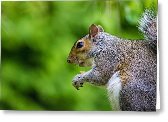 Grey Squirrel Greeting Card by Martin Newman