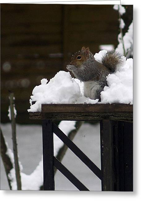 Grey Squirrel Greeting Card