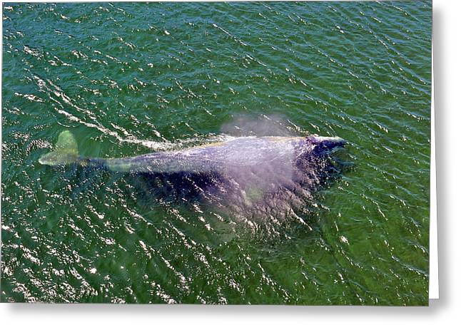 Grey Whale Greeting Card