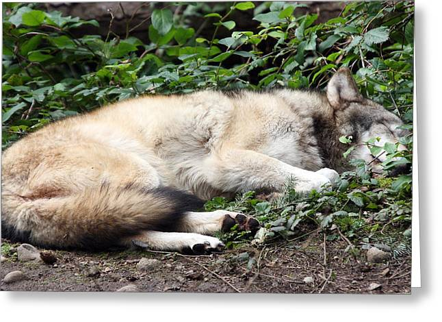 Grey Wolf - 0008 Greeting Card by S and S Photo