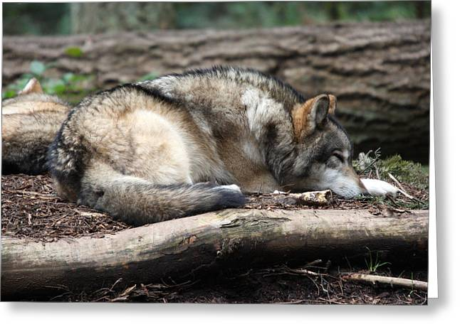 Grey Wolf - 0011 Greeting Card by S and S Photo
