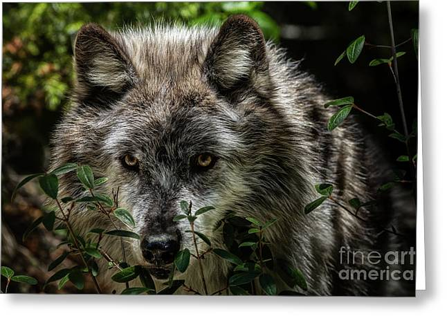 Greeting Card featuring the photograph Grey Wolf by Brad Allen Fine Art