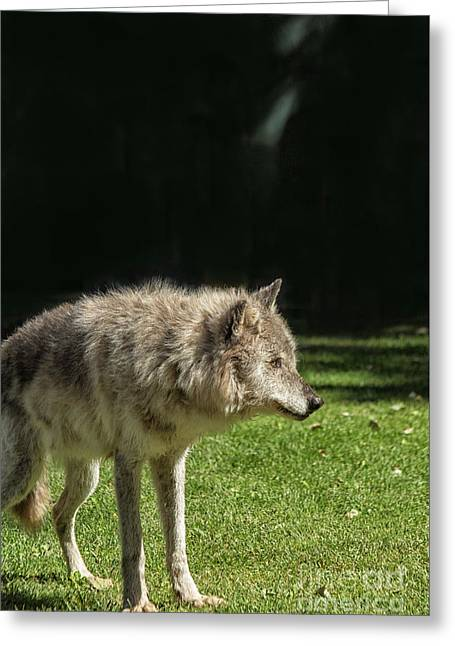 Grey Wolfe In Close Up Greeting Card by Patricia Hofmeester