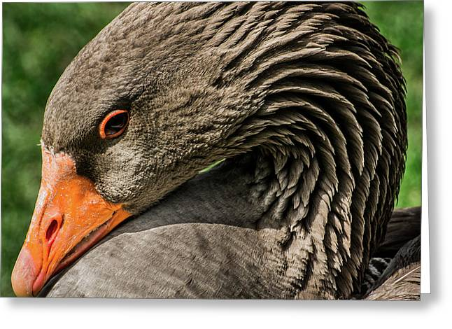 Greylag Goose Portrait  Greeting Card by Gary Whitton