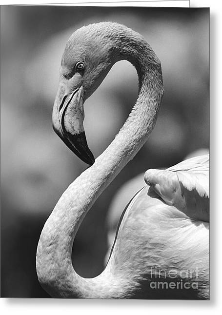 Greyscale Of A Tickled Pink Flamingo Greeting Card
